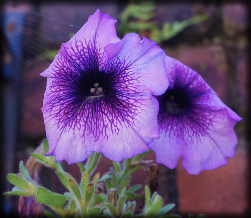 Purple Petunias | by Bev Goodwin