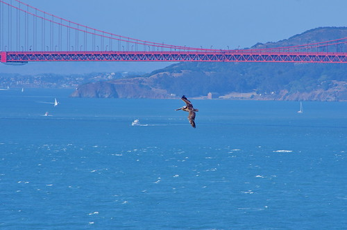 San Francisco on Lands End trail between Point Lobos and Eagle Point 27 Pelican in flight under the Golden Gate Bridge | by paspog