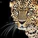 Panthera Pardus - Leopardo.