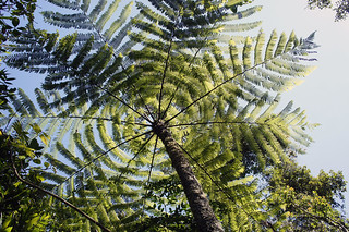 fern tree | by dasar
