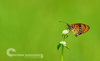 Tawny Coster | by Chathura Madusanka