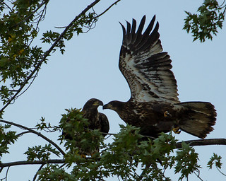 Golden Eagles | by ThreeIfByBike