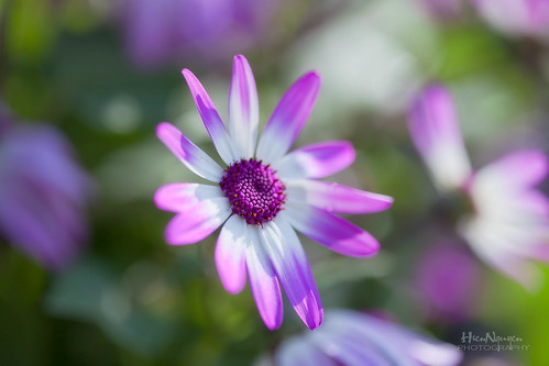 The Purple Osteospermum (EXPLORED) | by Nguyen61Photography