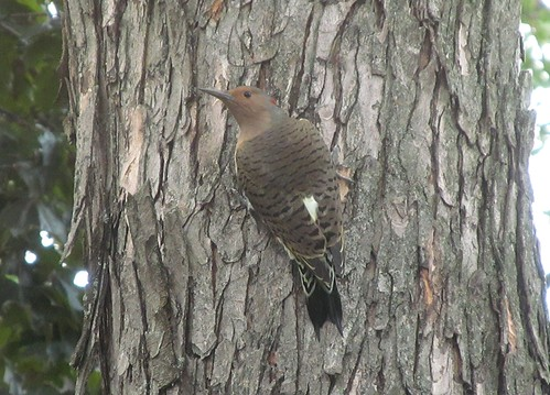 Northern Flicker Woodpecker taken with a Canon SX150 IS IMG_0344 | by Ted_Roger_Karson
