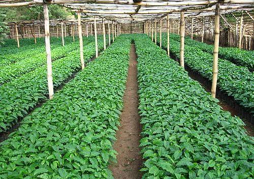 Magap invertir d lares en viveros de aproximada for Viveros de plantas