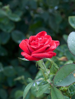 Rosa Olympiad Sw 92-021 D 8-12-12 2311 lo-res | by danceyoumonster