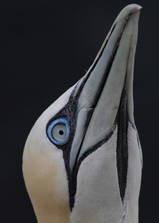 Gannet Portrait - Troup Head (Morus bassanus)4517 | by Highland Andy (Andy Howard)