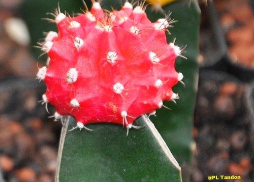 Red Cactus (Gymnocalycium mihanovichii) | by Scientific Photography ( 6 Million+ vi