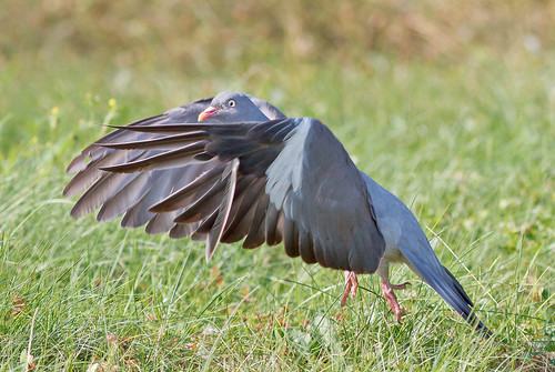 WOODPIGEON take off | by Tales From The Riverbank