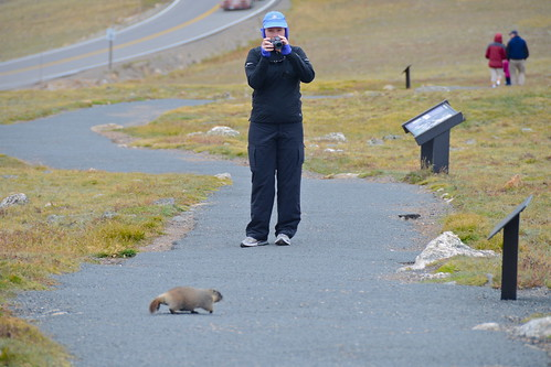 Friendly Baby Marmot atop Rocky Mountain National Park | by PilotGirl