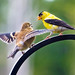 Goldfinches Exchange Chirps