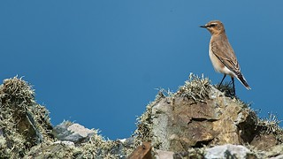 Wheatear (Oenanthe oenanthe) | by PeterQQ2009