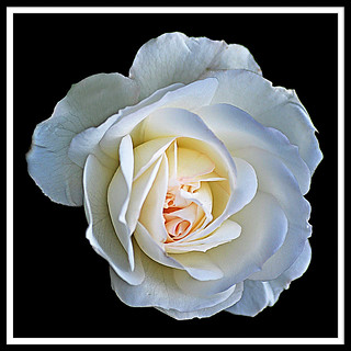 The White Rose Breathes of Love!!! | by S.F. Happiness