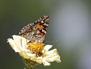 Painted Lady on White For My Precious Friends!!! | by maorlando - God keeps me as I lean on Him!!