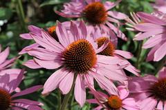 Echinacea Pupurea Rubinglow