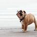 Commando The Dog