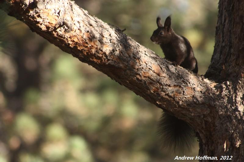 Sciurus aberti (Abert's Squirrel) | Estes Park, CO Check ...