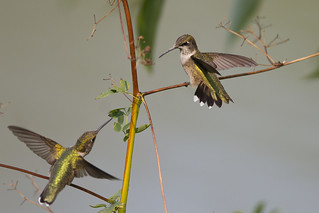 hummers battle | by Profiles of Nature
