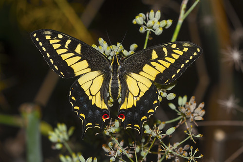 Black SwallowTail | by charles25001