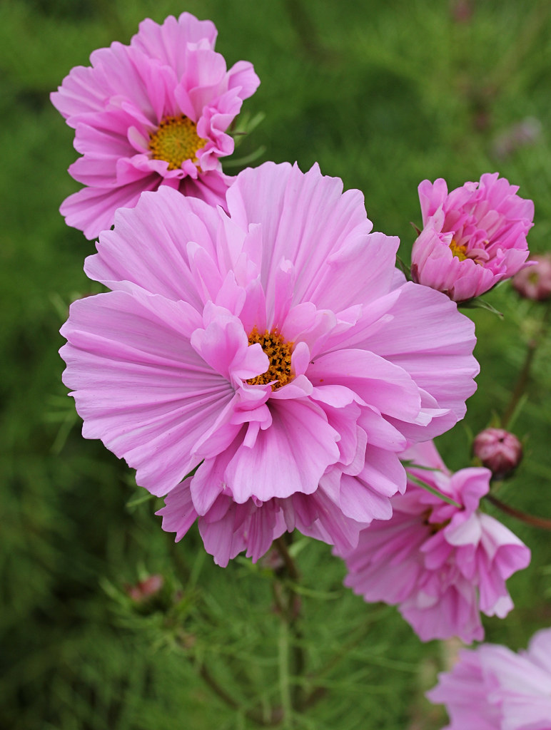Cup Cake Cosmos