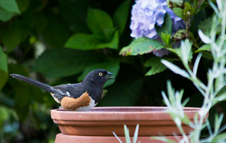 Eastern Towhee | by Lallee
