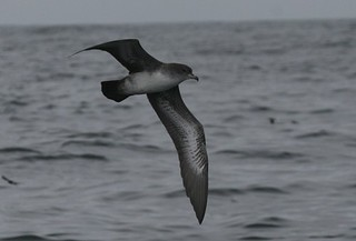 Pink footed shearwater Pelagic birding with Nature Expeditions in Peru | by stefanaustermuhle