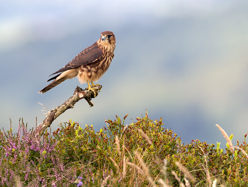 Young male merlin | by Claire Marshall 3