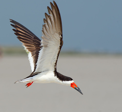 Black Skimmer at Nickerson Beach | by renzodionigi