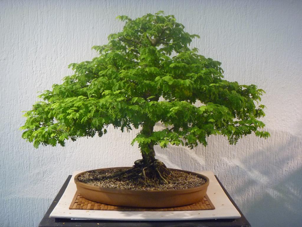 Expondr n en unicach arte bonsai y suiseki p gina princ flickr - Cultivo de bonsai ...