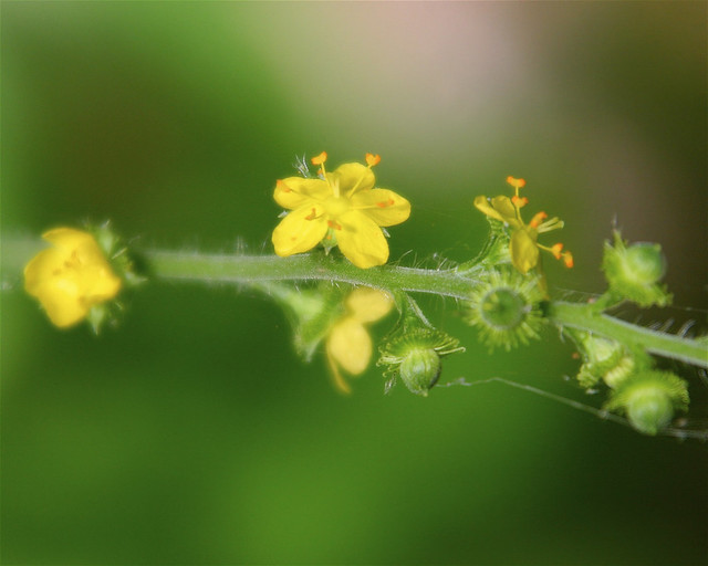 How Tall Is Dan Mullen >> Common Agrimony | Flickr - Photo Sharing!