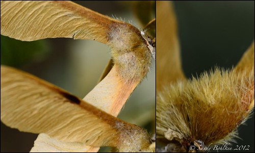 Maple Wings- the Fuzzy Part | by sandy bohlken