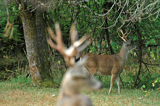 Ghost Buck  _27W1815a | by DennisKirkland