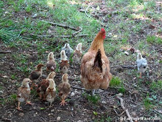 Lokey and her ten chicks (2) | by Farmgirl Susan