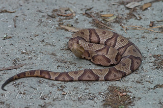 Southern Copperhead | by PaulJacobs