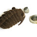 trilobites pattern pictures