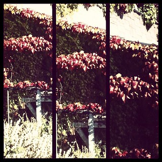 Daring the Sun - #vines #yyj #photo #photography #instagram #picjoiner | by Richelle D Funk