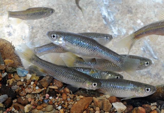 台灣白魚。圖片來源:一新社區發展協會提供