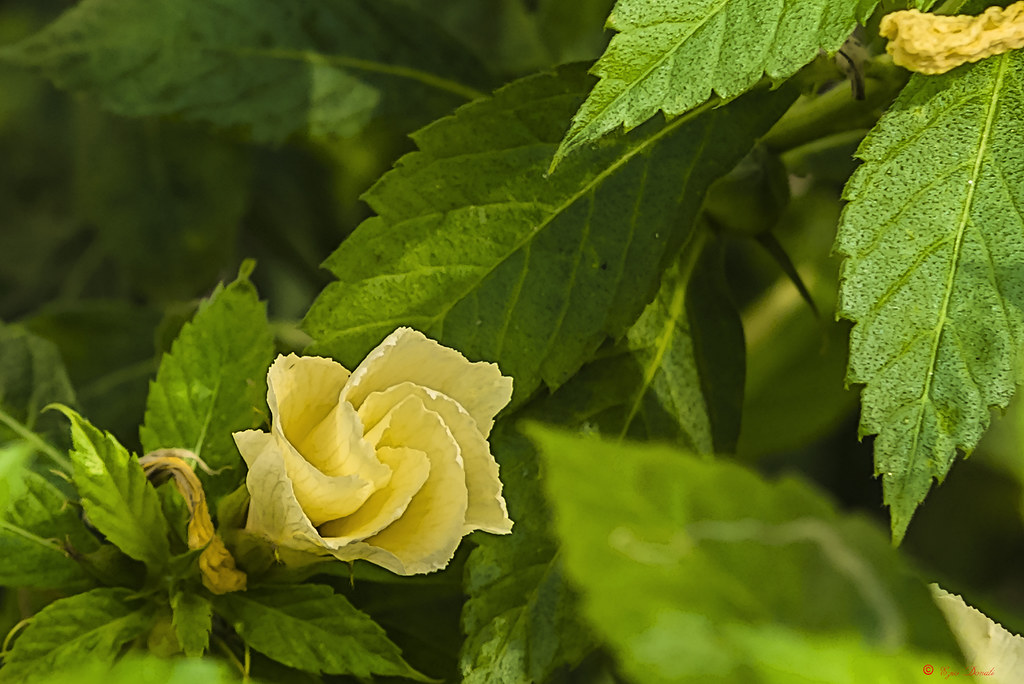 Fiori Gialli Yellow Flowers.Fiore Giallo In Apertura Yellow Flower Opening Flickr