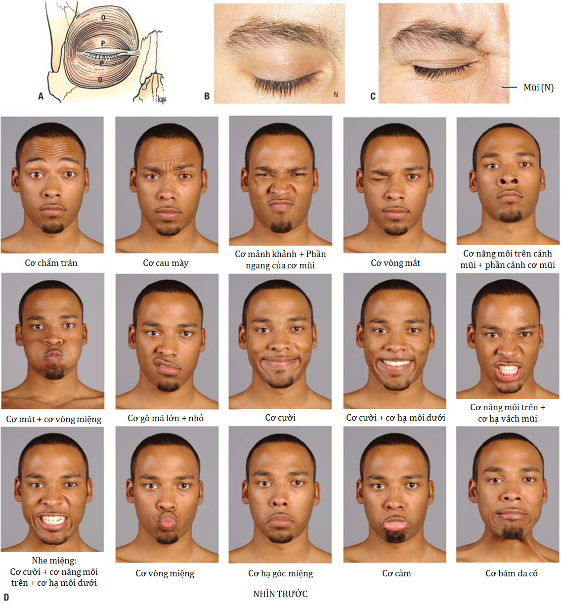 Các biểu hiện nét mặt Agur, Anne M.R., Dalley, Arthur F. Grant's Atlas of Anatomy, 12th Edition. Chapter 7.14 Muscles of facial expression. Lippincott Williams & Wilkins, 2009: 629-630