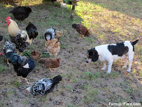 Chicken snacks. . . they aren't just for chickens (1) | by Farmgirl Susan