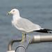Sea Gull 0946 New York