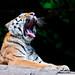Lailek yawning