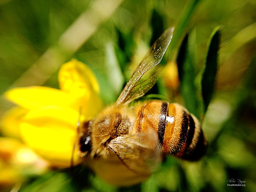 Honey Bee Loves Nectar | by Chriss Pagani