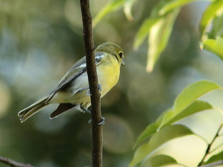 Yellow-throated Vireo 20120828 | by Kenneth Cole Schneider