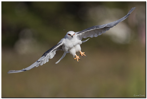 Whitetail Kite Take-Off | by Conrad Tan