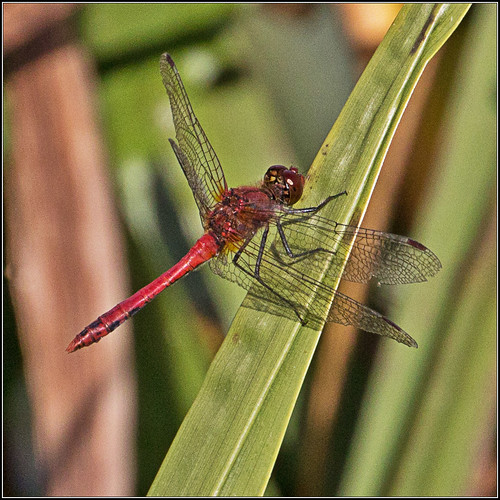 red dragonfly: male Ruddy Darter | by kimbenson45