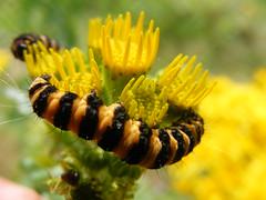Cinnabar Caterpillar by Guy Conlon