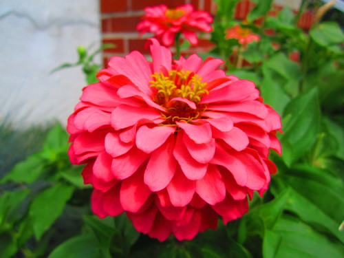 Hot pink zinnia | by Spike's Honey