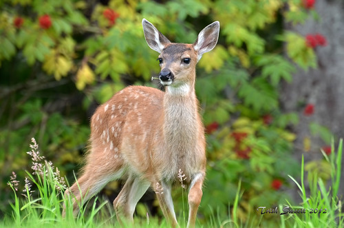 Black-tailed Deer DSC_3663 | by Trish Sweett