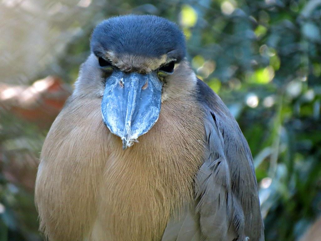 Broad Billed Heron by Linda dv Boat-billed Heron